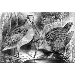 currierandives-woodcock